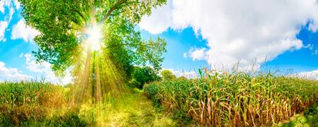 champ de mais: Cornfield au soleil