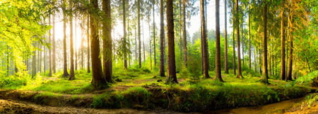Forest panorama at sunrise Stock Photo