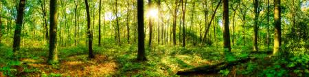 Panorama del bosque con el sol