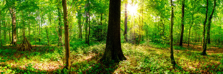 Forest panorama with bright sun