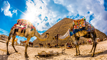 Two camels in front of the great pyramid of Giza, Egypt Stok Fotoğraf
