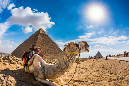 Camel in the Egyptian desert with the pyramids of Giza in the background
