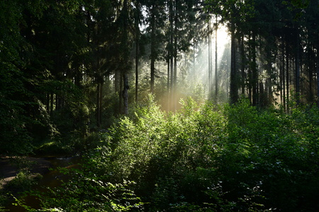 Sunrise in the forest with sunbeams shining through the trees
