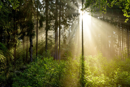 木々を照らす太陽の光と霧の森の美しい日の出