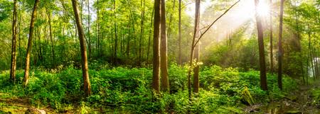 Amanecer en un bosque verde con arroyo