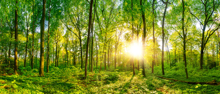 Beautiful forest panorama with bright sun shining through the trees 스톡 콘텐츠