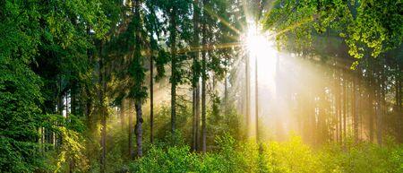 Beau panorama de la forêt au printemps avec un soleil éclatant qui brille à travers les arbres Banque d'images