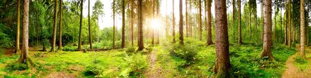 Beautiful forest panorama with bright sun shining through the trees Фото со стока