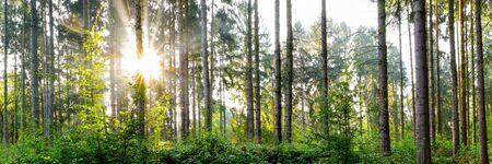 Beautiful forest panorama with bright sun shining through the trees Stockfoto