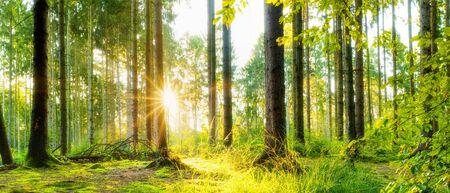 가문비 나무와 나무 사이로 빛나는 밝은 태양이 있는 목가적인 숲 스톡 콘텐츠