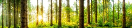 Forest panorama with bright sun shining through the trees Stockfoto