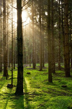 Beautiful natural forest with spruces in the light of the sun