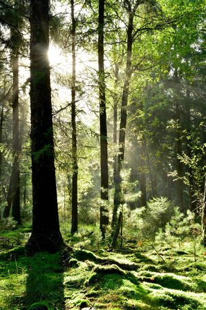 Beautiful, green forest with trees in the morning Stockfoto