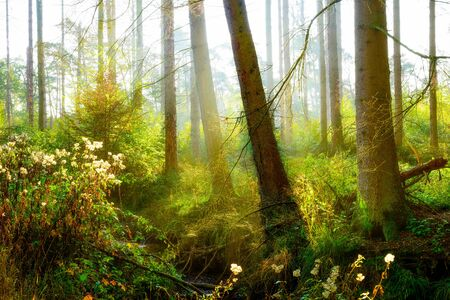 Misty forest with bright sunlight in the background Stock Photo - 137364115