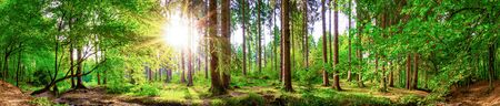 Beautiful forest panorama with large trees and bright sun Zdjęcie Seryjne