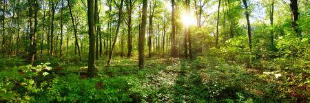 Foresta primaverile con il sole splendente che splende attraverso gli alberi