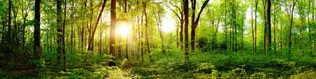 Panorama of a beautiful green forest with bright sun shining through large trees Archivio Fotografico