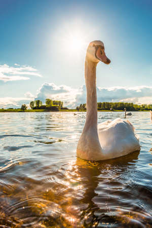 Swan on the Rhine at Leverkusen with bright sun in the background