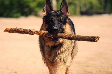 German Shepherd carries a big stick
