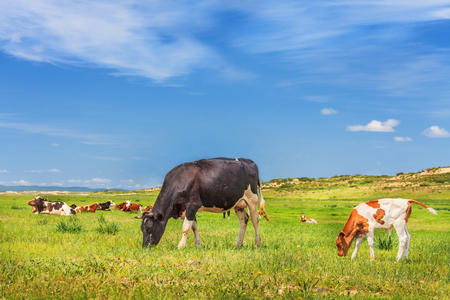 Herd grazes on grassland under blue sky and white clouds Stock Photo