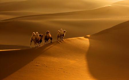 xinjiang: Chameau dans Kumtag désert du Xinjiang