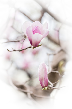 magnolia soulangeana: Magnolia soulangeana Soul.-Bod