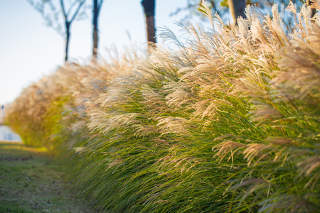 villus: Reed flowers in late autumn