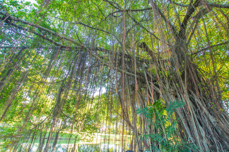 superstitions: Banyan Tree
