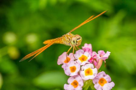 lantana: Dragonfly with lantana flower Stock Photo