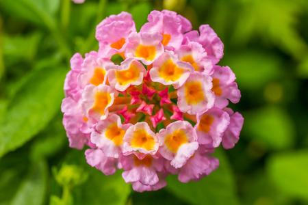 lantana: colorful lantana flower Stock Photo