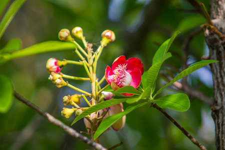 cannonball: Cannonball tree flowers