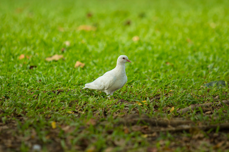 pecker: Beautiful white pigeon is walking on the grass ground.