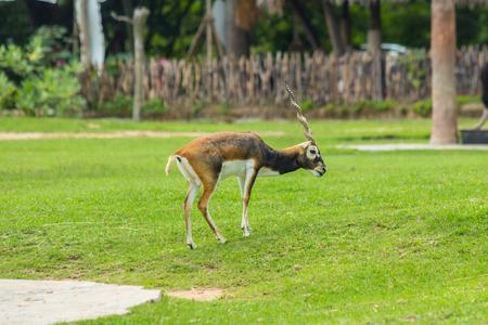 herbivore natural: Child of Blackbuck Antilope cervicapra in zoo. Stock Photo