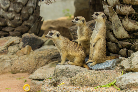 suricatta: Family of Slender-Tailed Meerkats Suricata suricatta in zoo.