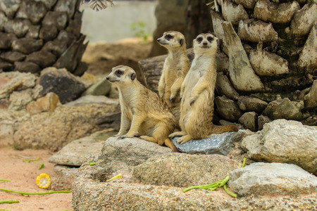 suricata: Family of Slender-Tailed Meerkats Suricata suricatta in zoo.