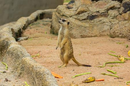 suricata suricatta: Slender-Tailed Meerkats Suricata suricatta in zoo.