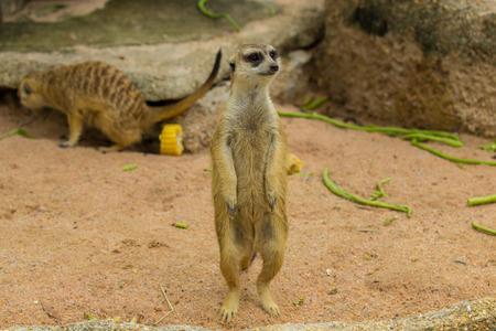suricatta: Slender-Tailed Meerkats Suricata suricatta in zoo.