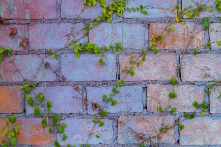 ivy wall: Art brick wall with green ivy.