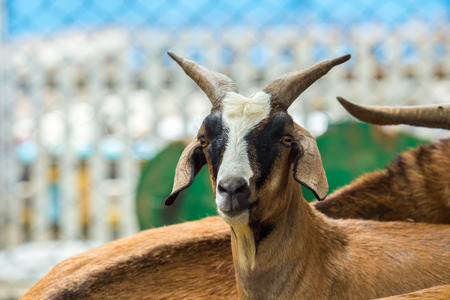 hircus: Goat Capra hircus in the zoo.