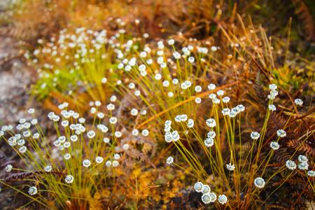 kradueng: Grass flower on the morning at Phu Kradueng National Park, Thailand. Stock Photo