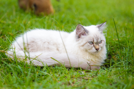 pet cat: White cat on the green grass. Stock Photo