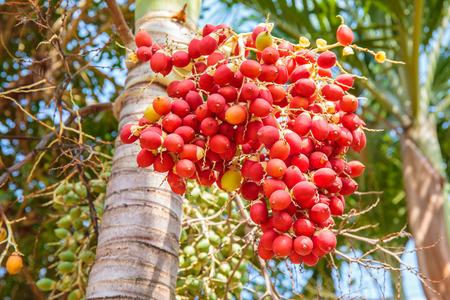 sealing wax: Red Sealing wax palm, Lipstick palm, Raja palm, Maharajah palm, Cyrtostachys renda ornamental plant in gardens.