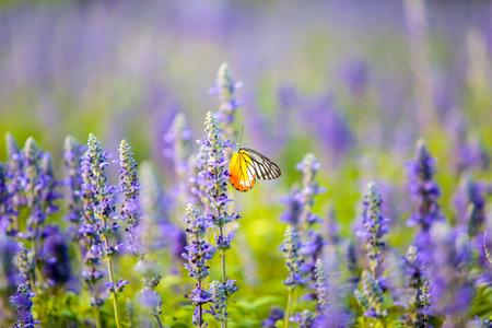 Butterfly on Lavender Flowers field in the garden. Zdjęcie Seryjne - 52918439