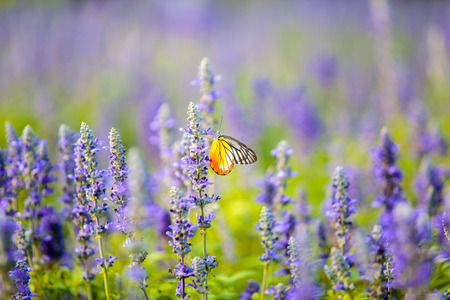 Butterfly on Lavender Flowers field in the garden.