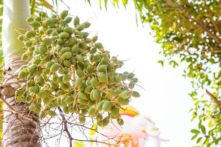 sealing wax: Sealing wax palm, Lipstick palm, Raja palm, Maharajah palm, Cyrtostachys renda ornamental plant in gardens.