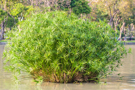 eventide: Papyrus plant in lake at the public park. Stock Photo