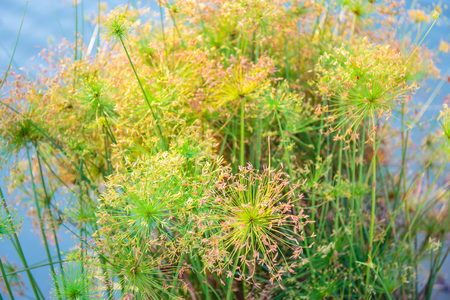 aquatic herb: Green Leaf Papyrus Plant in water.