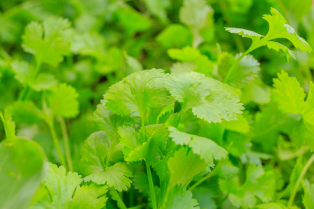 cilantro: vegetal cilantro. Foto de archivo