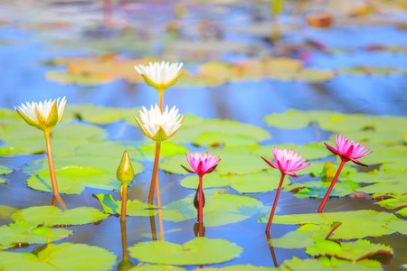 aquatic herb: Colorful blooming pink water lily or lotus flower.