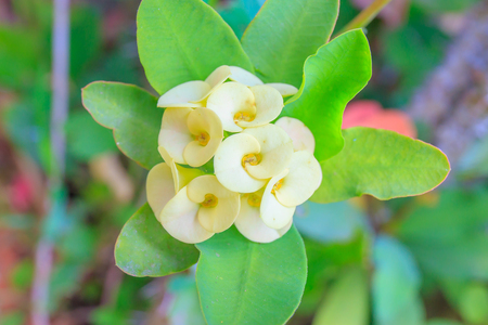 poi: Yellow Poi Sian flowers or Pink Christ Thorn flowers in pot. Stock Photo